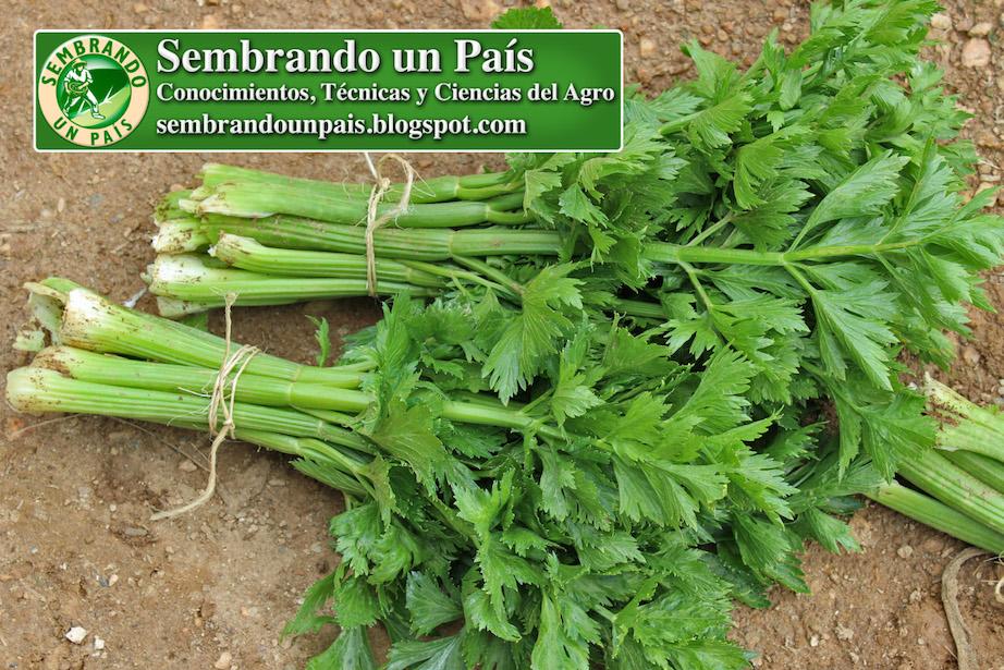 celery apium graveolens