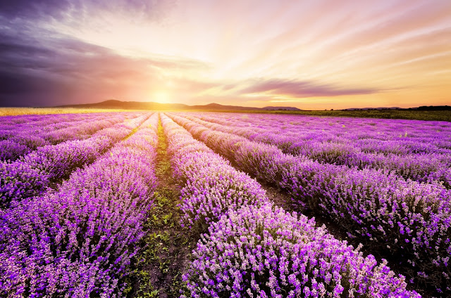 cánh đồng hoa oải hương đẹp nhất thế giới 18