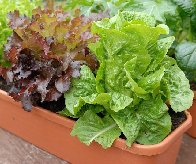 Growing Lettuce and Salad Green In Containers