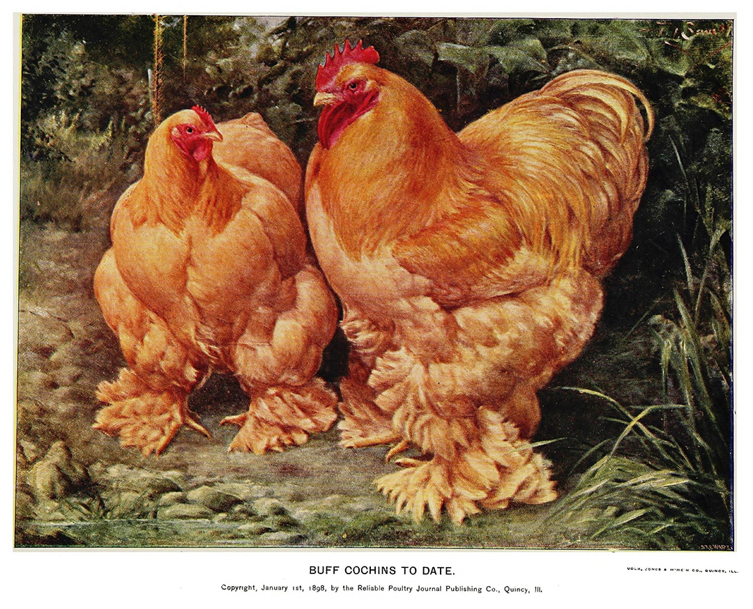 biodiversity heritage library hen fever and heritage breeds