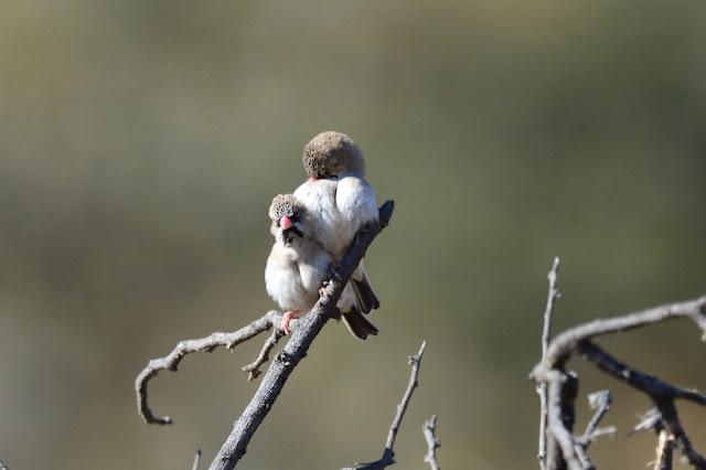 Sporopipes squamifrons