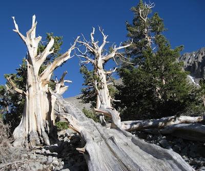 Balfourianae-(Bristlecone pine)
