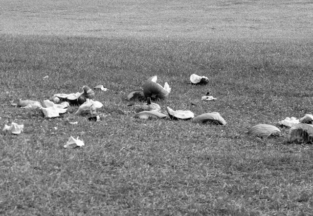 a black and white photo of broken pumpkins scattered across grass.