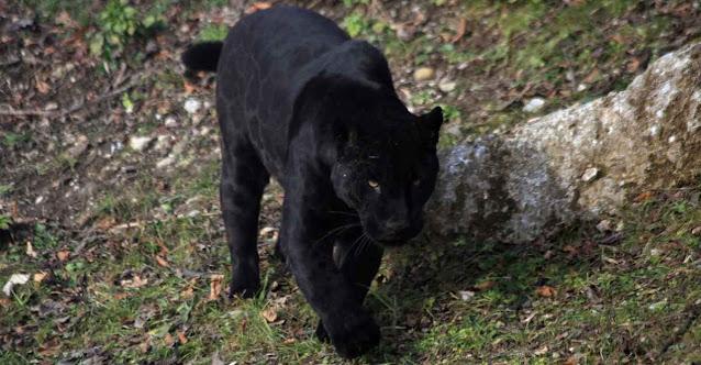 La pantera della Puglia, è un serval nero con dei cuccioli