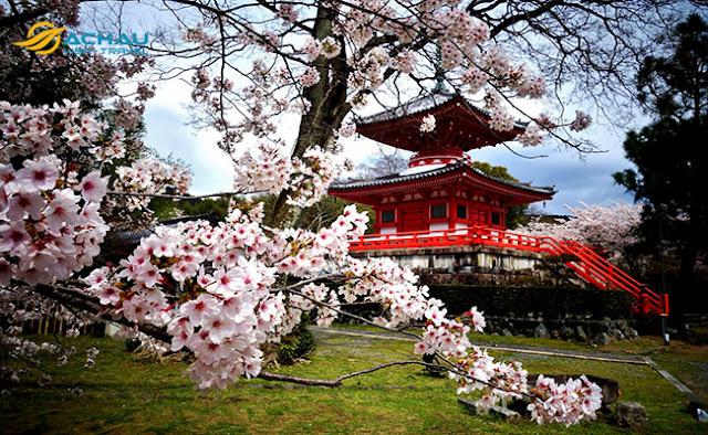 Du lịch Hàn Quốc ngay kẻo lỡ mùa hoa anh đào2