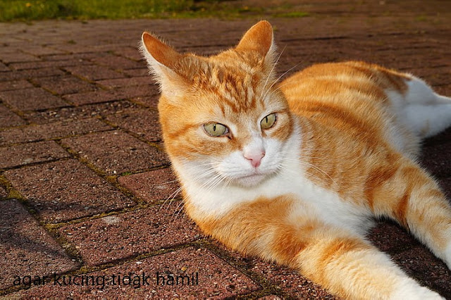 Agar Kucing Tidak Hamil, Bagaimana Caranya?