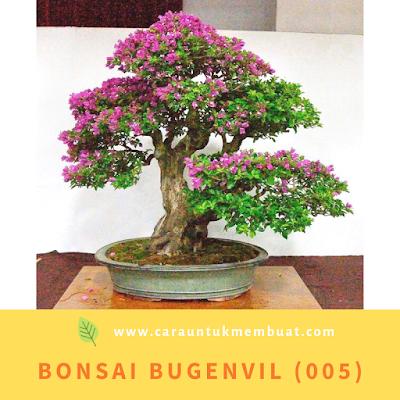 Bonsai Bugenvil (005)