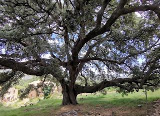 La Carrasca de Culla. Árbol monumental de la Comunidad Valenciana.