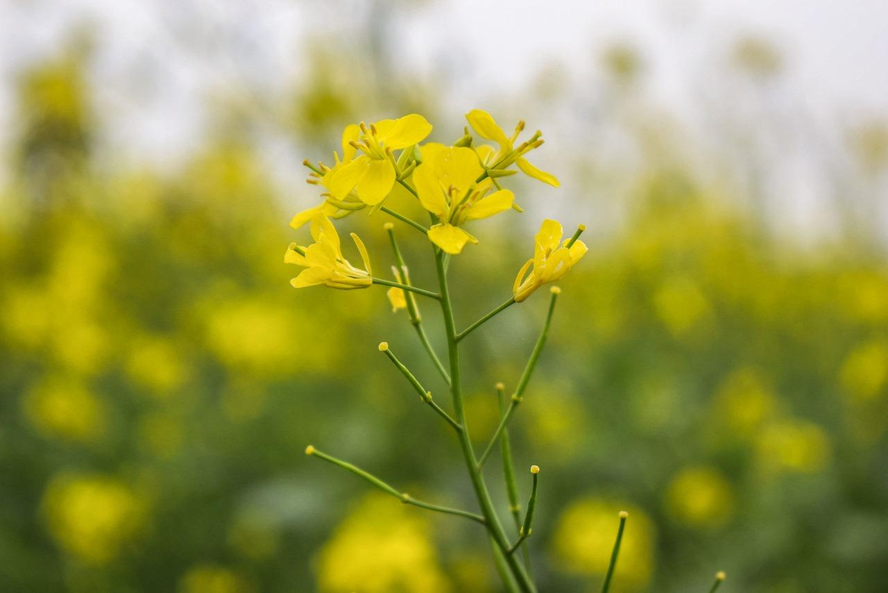 Manfaat Minyak mustard Untuk Mencegah Uban Dan Merawat Kesehatan Rambut