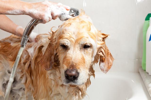 dog, flea treatment