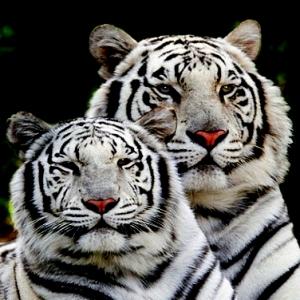 Mustika Macan Kembar Banaspati Ganas