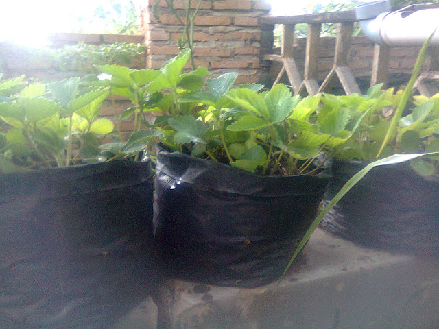 Pohon Strawberry Ditanam Di Pot Polybag