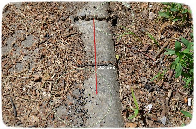 мирмекохория-мирмекофилия-муравьи-эксперимент