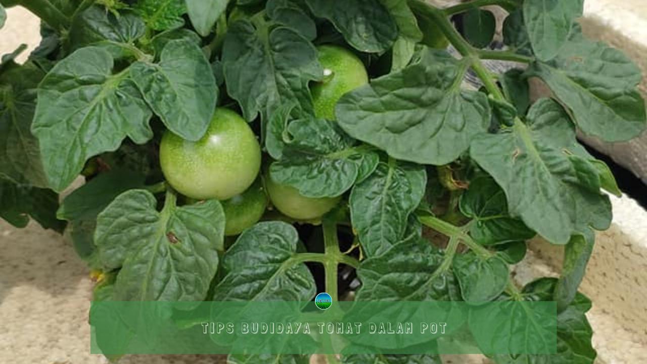 Tips Budidaya Tomat Dalam Pot
