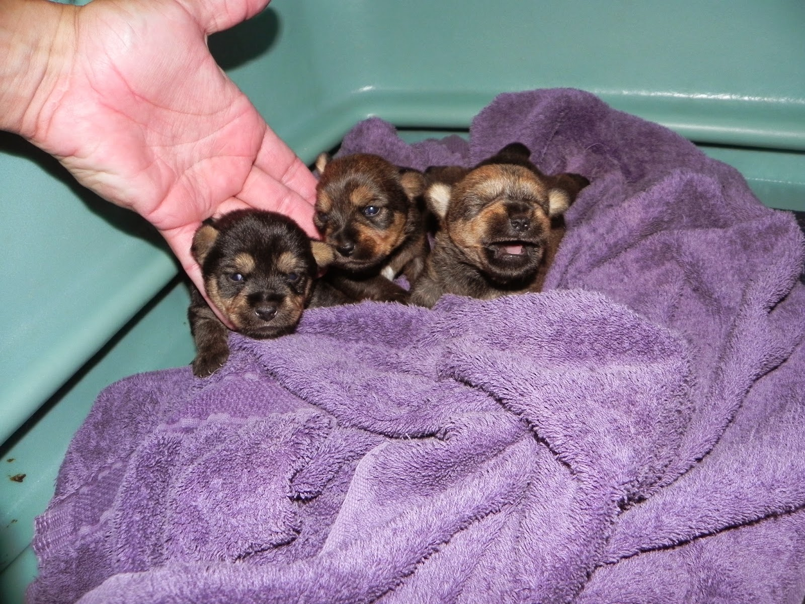 White Diamond Terriers: Nicki's Norwich Terrier puppies at ...