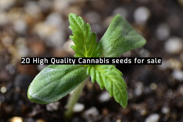 Cannabis Seeds for Sale Online