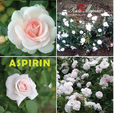 ASPIRIN - Aspirin Bijela ruža. Floribunda, Patio.