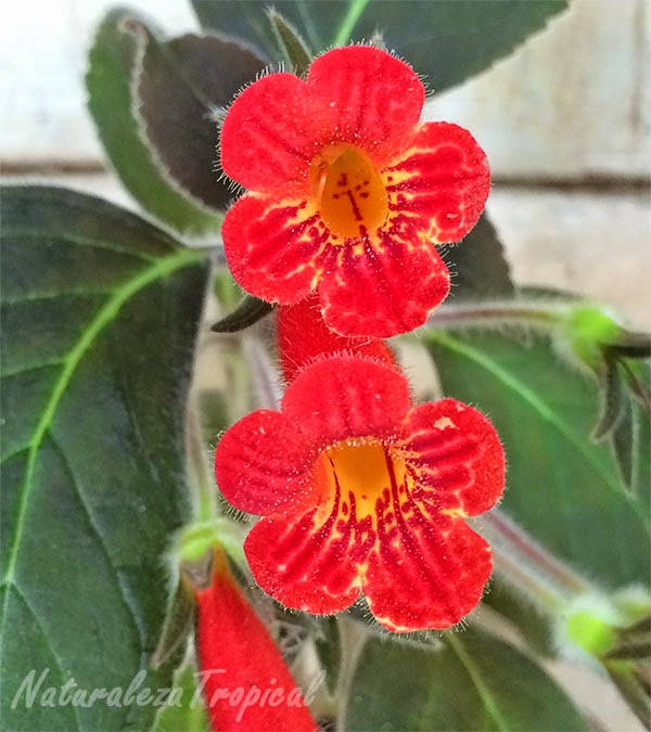 Variedad roja con centro amarillo manchado de flores del género Episcia