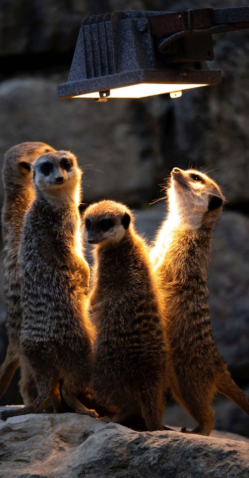 Meerkats curious about the light.