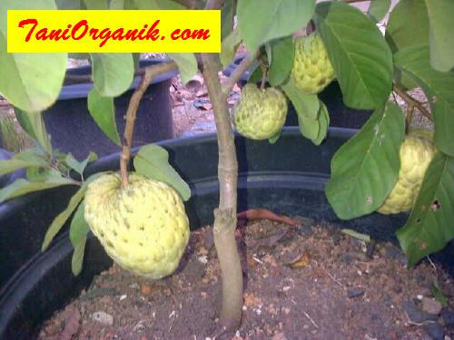 Pemberian pupuk organik cair POC BMW sesering mungkin baik dengan cara disemprotkan maupun dikocorkan ke media, dapat merangsang tanaman buah cepat berbunga dan berbuah.