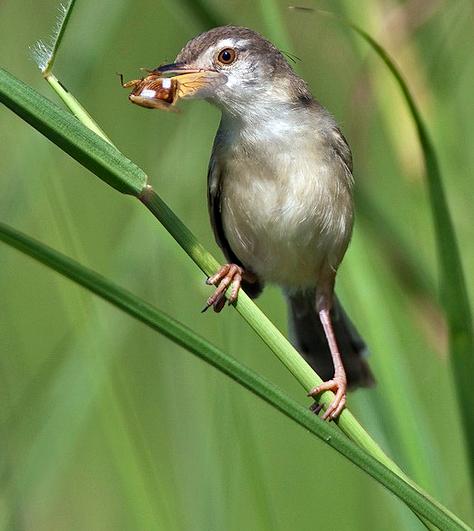 Sabit Burung Ciblek Yang Sudah Mulai Langka