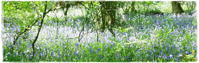 bluebell-woods-cornwall