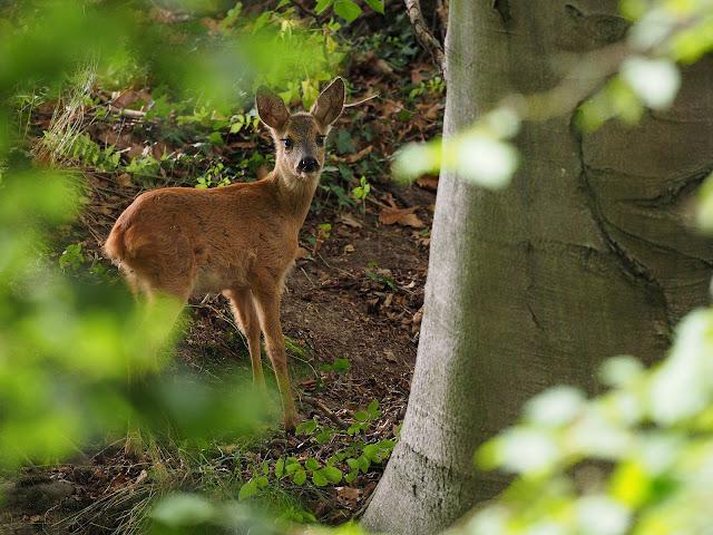 Ein Reh steht im Wald und schaut den Fotografen an.