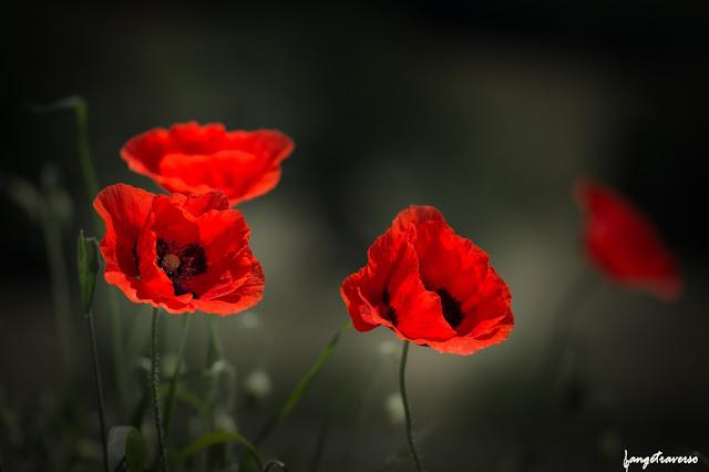 Flore de France, coquelicots, color, fleurs