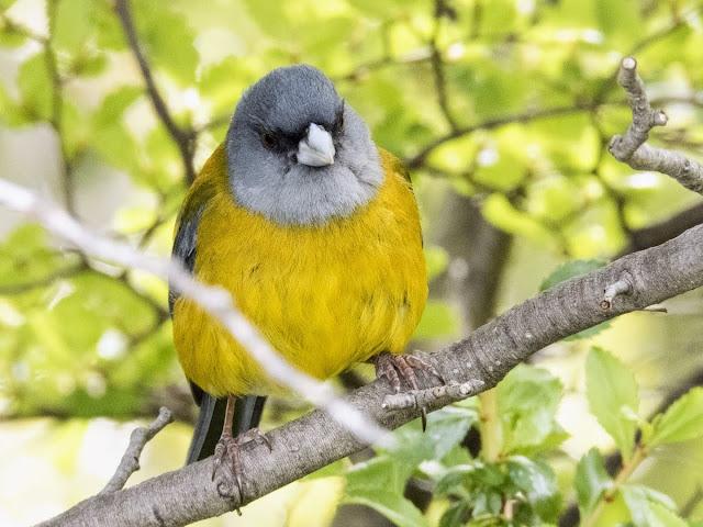 Birds of Patagonia: Patagonian sierra finch bird near Perito Moreno Glacier in El Calafate Argentina
