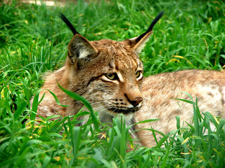 https://upload.wikimedia.org/wikipedia/commons/3/3b/Lynx_lynx_in_Bogazici_Zoo_01155_Nevit.jpg