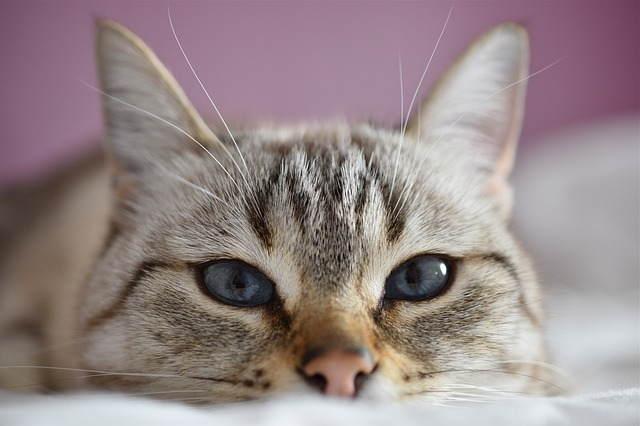 اشهر سلالات القطط عالميا بالصور