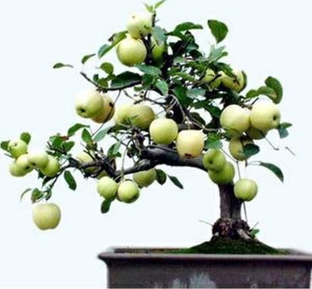 Istimewa! benih bonsai buah apel malang 5 seed Kota Surabaya #bibit buah langka