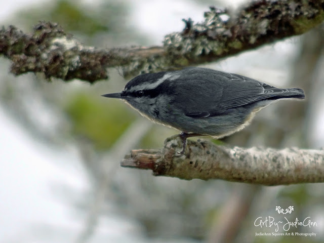 Nuthatch Pair Prepares A Nest 11 Photos + Video