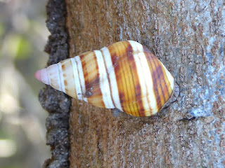 Liguus fasciatus