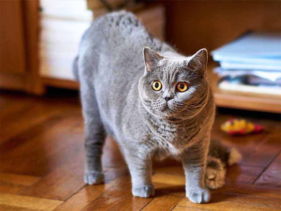 British Shorthair Cat Is Very Sweet Natured And Devoted To Its Owners