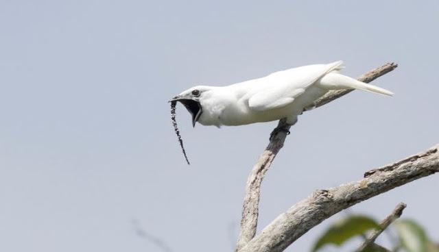 Burung Lonceng Putih Amazon Suara Kicau Paling Keras di Dunia