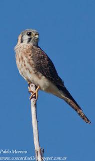 halconcito colorado (Falco sparverius) hembra