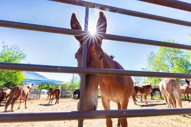 yellowstone horses