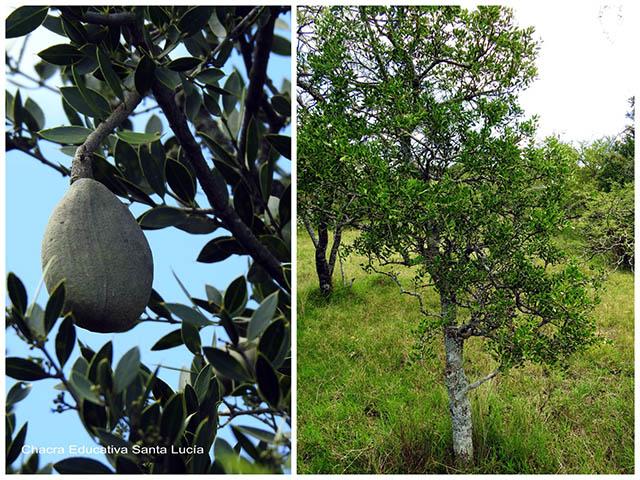 Quebracho fruto/Quebracho árbol-Chacra Educativa Santa Lucía
