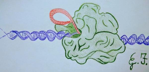 CRISPR-Cas9, genome editing