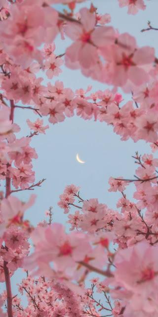 Những đóa hoa anh đào giữa ánh trắng huyền ảo