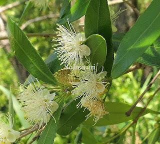 Myrceugenia glaucescens Murta en flor