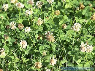Trèfle blanc - Trèfle rampant - Trifolium repens
