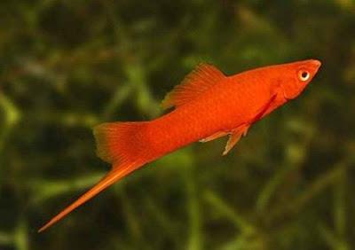 Gambar Ikan Platy Pedang