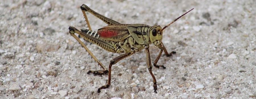 Southeastern Lubber Grasshopper/Romalea microptera
