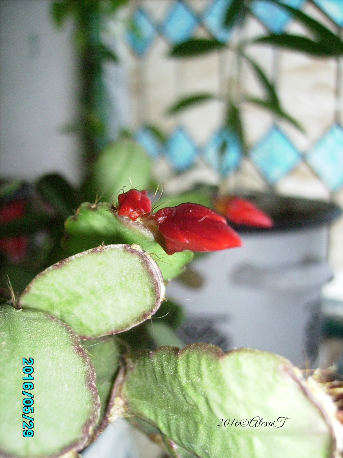 """Wikipedia about: """"Schlumbergera is a small genus of cacti with six species found in the coastal mountains of south-eastern Brazil. Plants grow on trees or rocks in habitats that are generally shady with high humidity, and can be quite different in appearance from their desert-dwelling cousins. Most species of Schlumbergera have stems which resemble leaf-like pads joined one to the other and flowers which appear from areoles at the joints and tips of the stems. Two species have cylindrical stems more similar to other cacti. In Brazil, the genus is referred to as Flor de Maio (May flower), reflecting the period in which they flower in the Southern Hemisphere."""""""