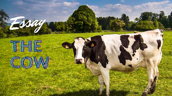 The Cow Essay, Short Essay on Cow in English