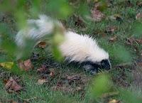 Skunk in Ferida's garden