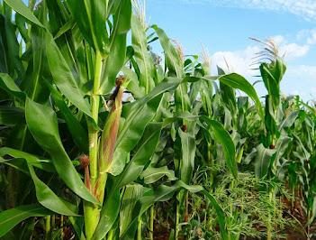 Starting a dry season farming business in Nigeria (maize)