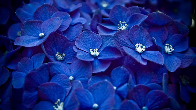 blue flowers petals HD flowers